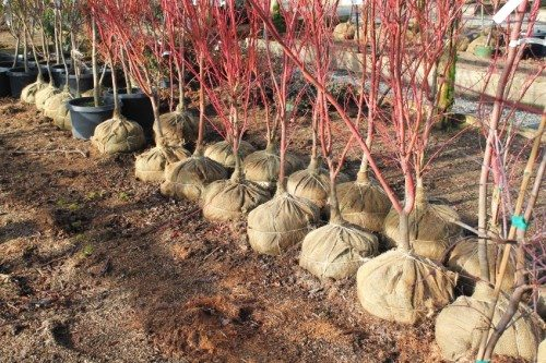 Burlap-balled trees ready for planting