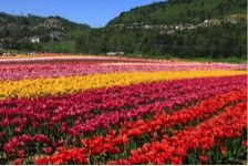 Colleen Tulip field