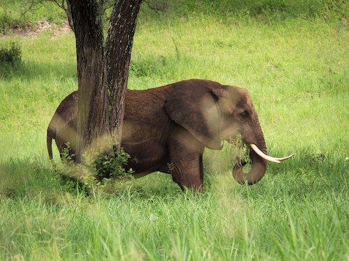 GEP Tanzania Expedition- Elephant