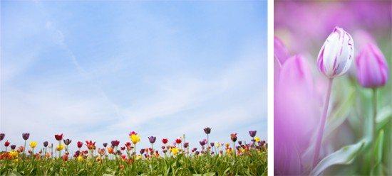 stock photo tulips