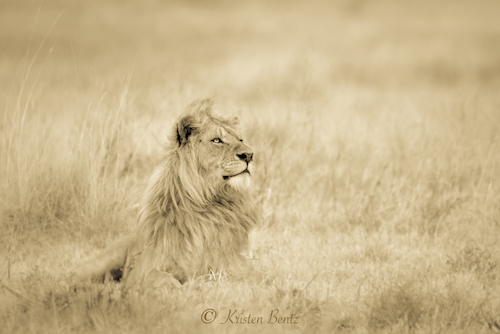 As a full-time photographer, Kristen splits her time between Alaska and the Serengeti...