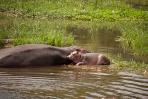 hippo mom and baby BY JACKSON