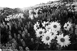 Black and white Flower Photo