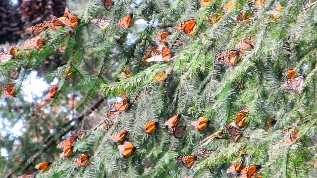 Monarch_Butterflies_ El Rosario_Mexico 640px-min