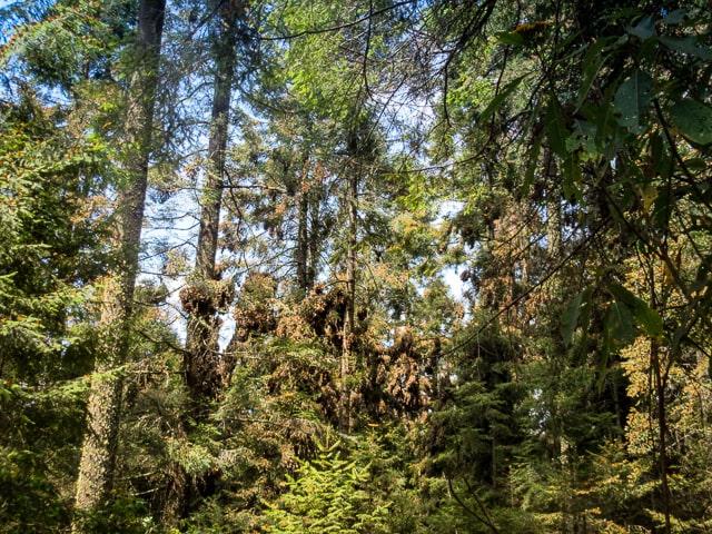 Oyamel_Trees_El_Rosario Sanctuary 640 px-min