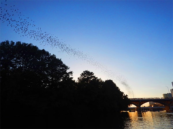 Bats heading out for dinner. - Austin Texas