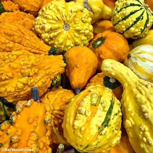 The rich color of vibrant holiday gourds attracts attention.