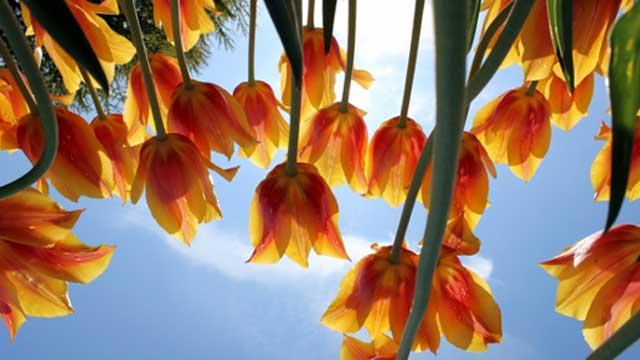 tulips photography
